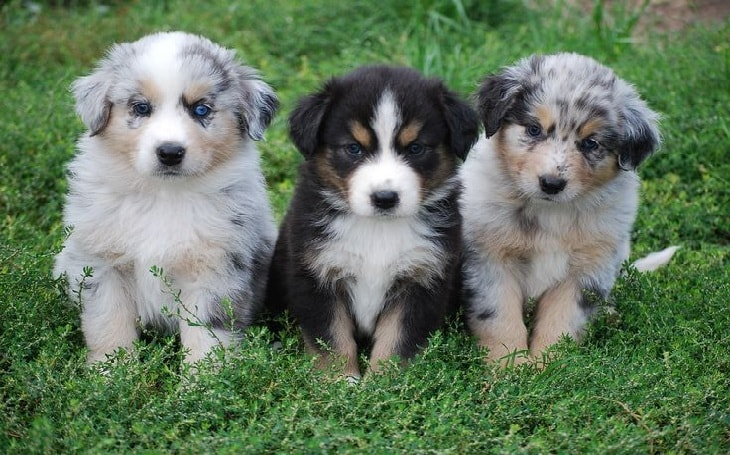 Three cute Catahoula puppies.