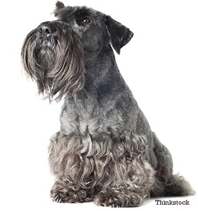 Cesky Terrier which is similar to Skye Terrier