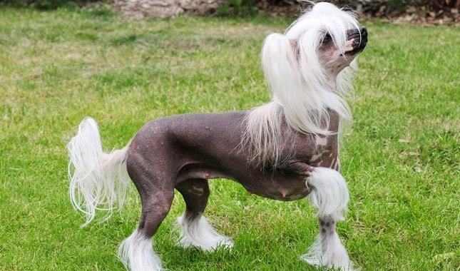 Chinese Crested which is similar to Peruvian Inca Orchid