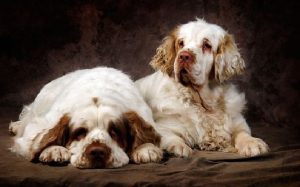 Beautiful Clumber Spaniel Dog.