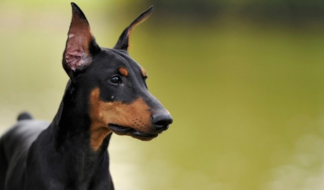 Doberman Pinscher which is similar to Rottweiler