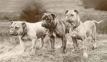 Victorian Bulldog history