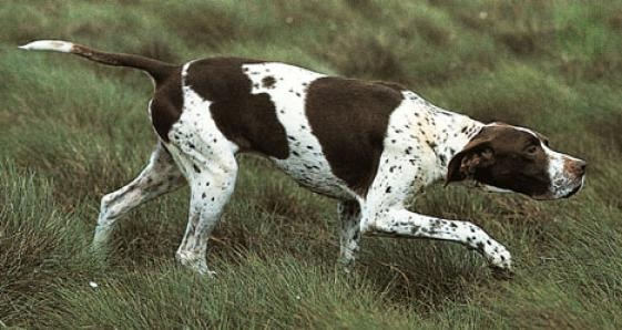 English Pointer dog which is similar to Slovakian Wirehaired Pointer