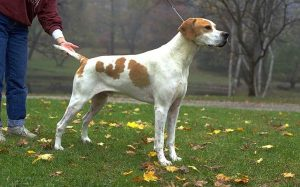 English pointer history and behavior