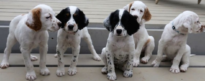 English Pointer puppy cost