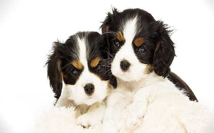 English Toy Spaniel Puppies developmental stages