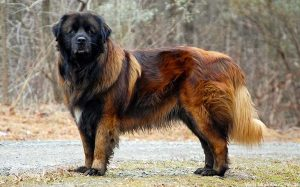 Estrala Mountain Dog Breed.