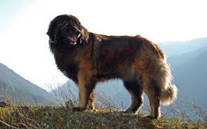 Sturdy Estrela Mountain Dog.