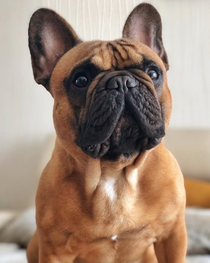 French Bulldog which is similar to Pug