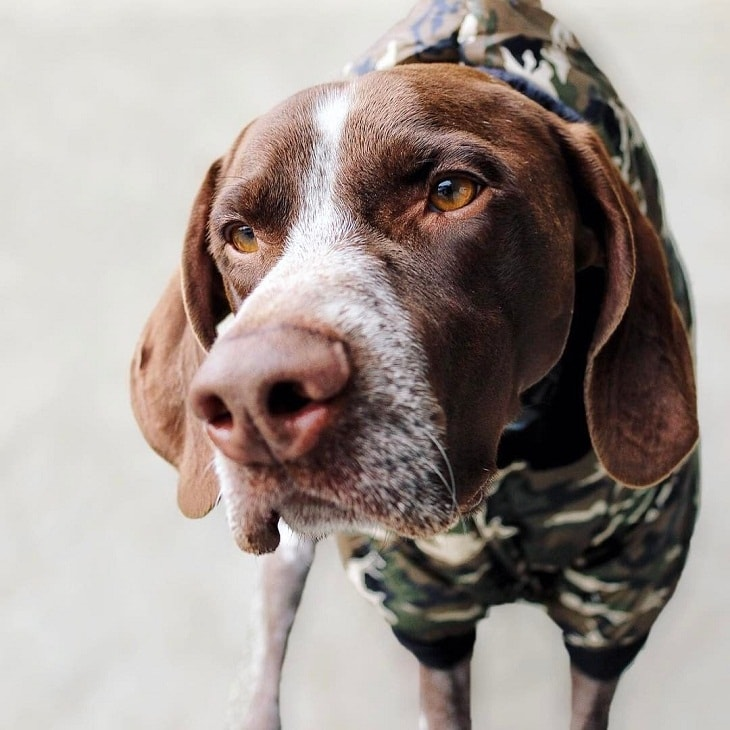 German Shorthaired Pointer which is similar to English Pointer