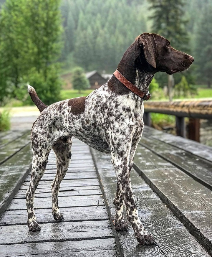 German Shorthaired Pointer which is similar to Portuguese Pointer