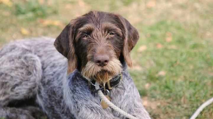 German Wirehaired Pointer dog which is similar to Slovakian Wirehaired Pointer