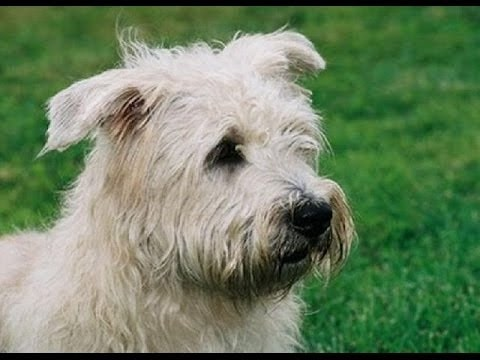 Glen of Imaal Terrier which is similar to Skye Terrier