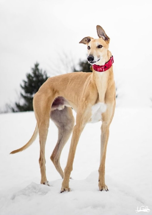 Greyhound dog which is similar to Sloughi