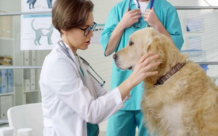 A vet examining a dog.