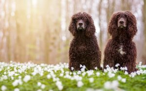 Irish Water Spaniel Dog Breed.