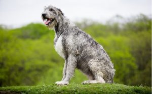 Irish Wofhound Dog Breed.