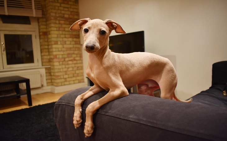 Beautiful Italian Greyhound Dog Breed.