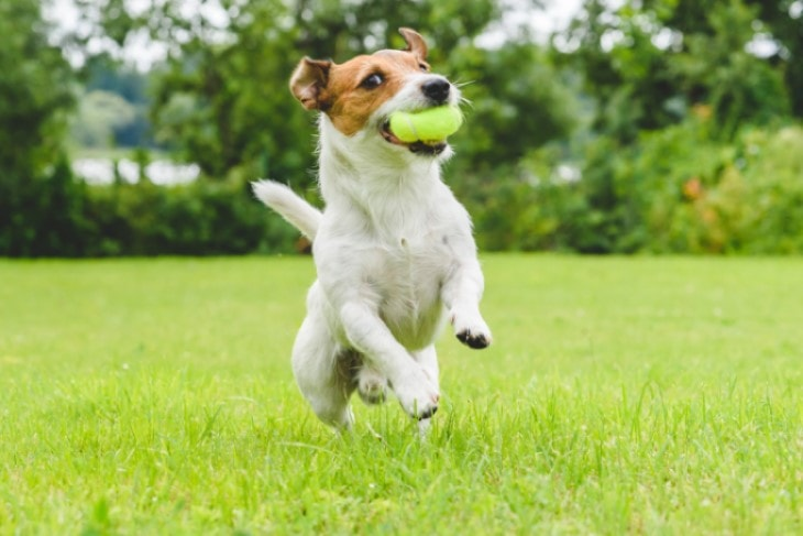 Russel Terrier Needs Early Training