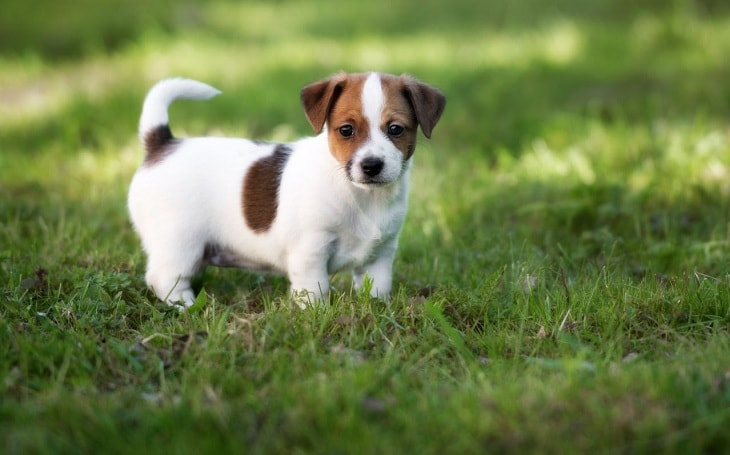 A cute little Jack Russell Terrier posing.