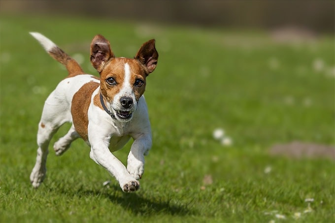 Jack Russell Terrier which similar breed to Smooth Fox Terrier