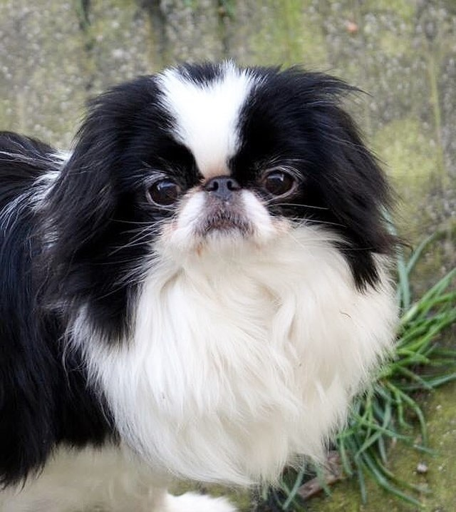 Japanese Chin which is similar to Pug