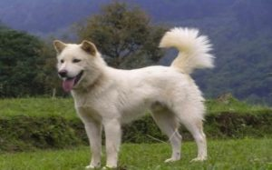 Kintamani is the new internationally recognized Indonesian breed.