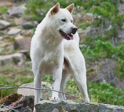 Kishu Ken which is similar to Shikoku dog