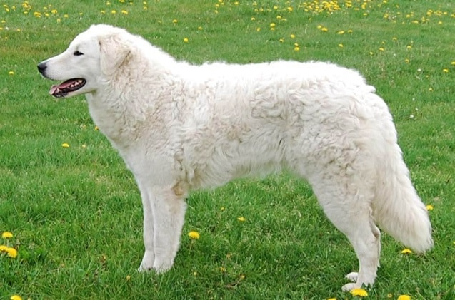 Kuvasz which is similar to Slovensky Cuvac