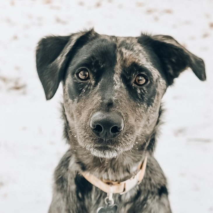 Catahoula And Labrador Are Mixed