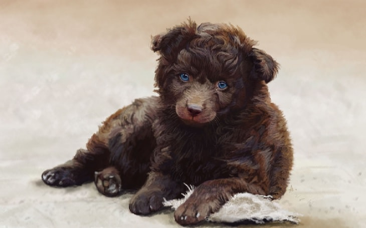 Brown Mudi Puppy.