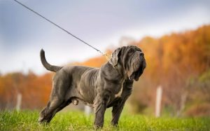 Sturdy Looking Neapolitan Mastiff.