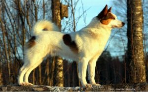 Beautiful Norbottenspets Dog.