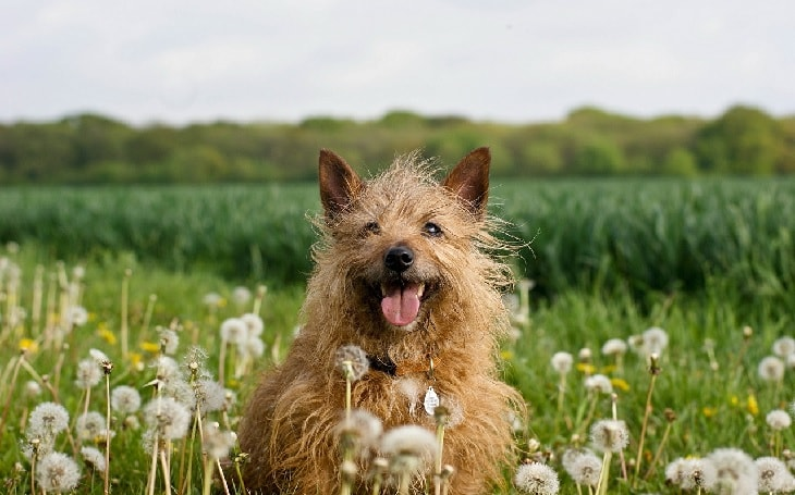 Happy Norwich Terrier Dog.