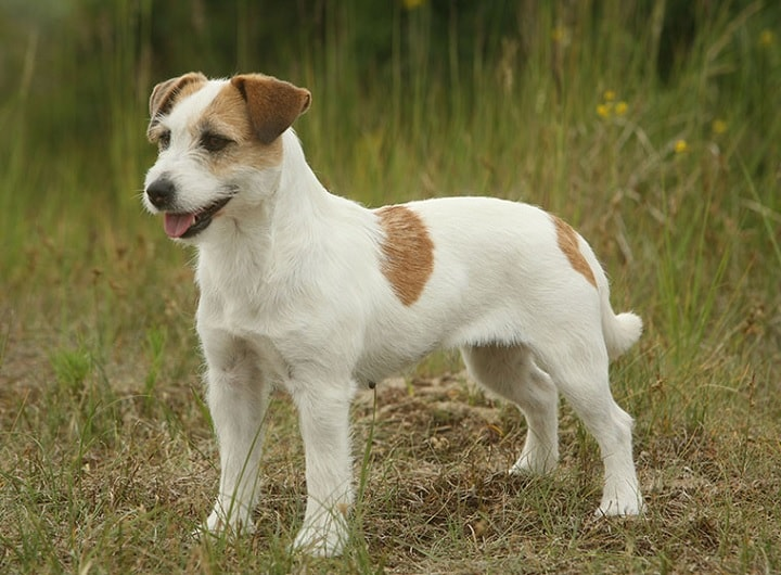 Parson Russell which similar breed to Smooth Fox Terrier