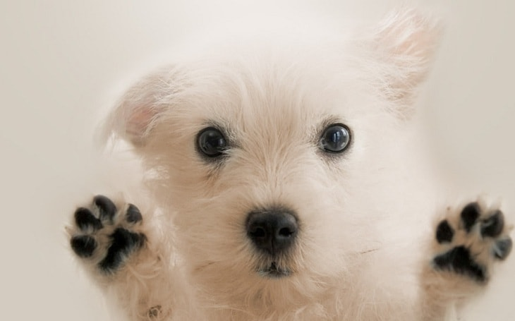 A cute white dog showing its paws.
