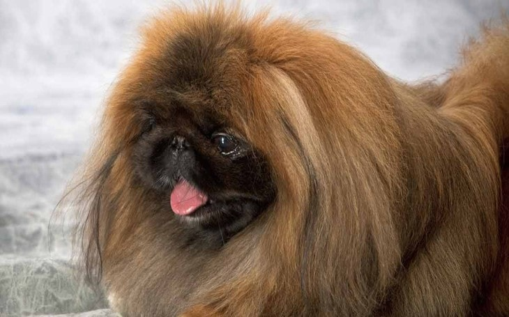 Pekingese Dogs Are Very Loyal