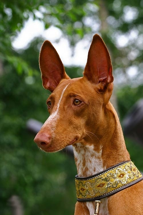 Pharaoh Hound dog which is similar to Sloughi
