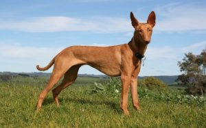 A Pharaoh Hound standing.