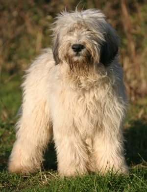Polish Lowland Sheepdog which is similar to Puli