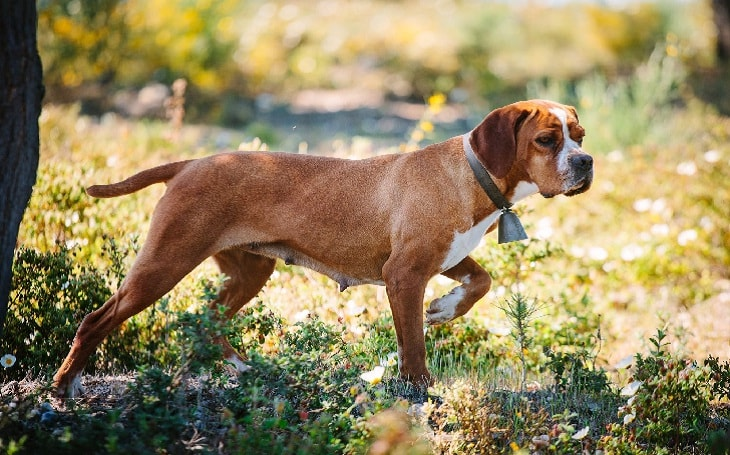 Portuguese Pointer history and behavior