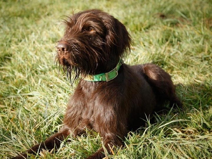 Puddlepointer dog which is similar to Slovakian Wirehaired Pointer