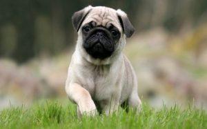 A Pug puppy posing.