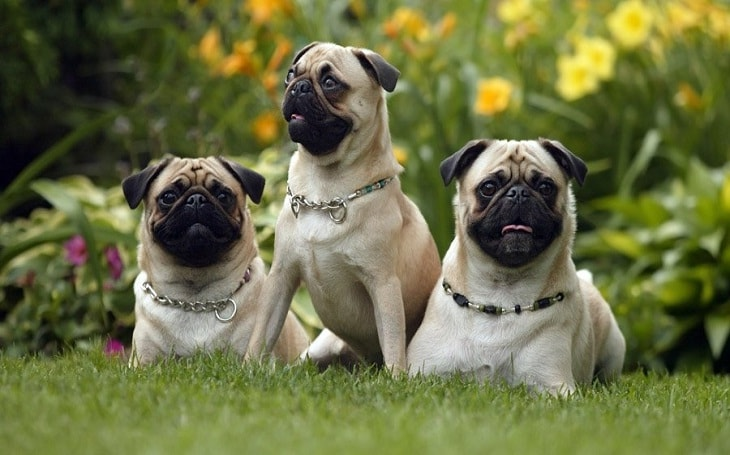 Pugs History and Behavior