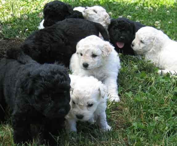 Puli Puppies