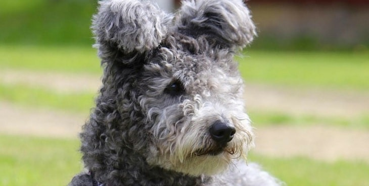 Pumi dog which is similar to Puli