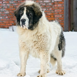 Pyrenean Mastiff which is similar to Romanian Mioritic Shepherd