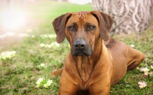 Rhodesian Ridgeback History and Behavior
