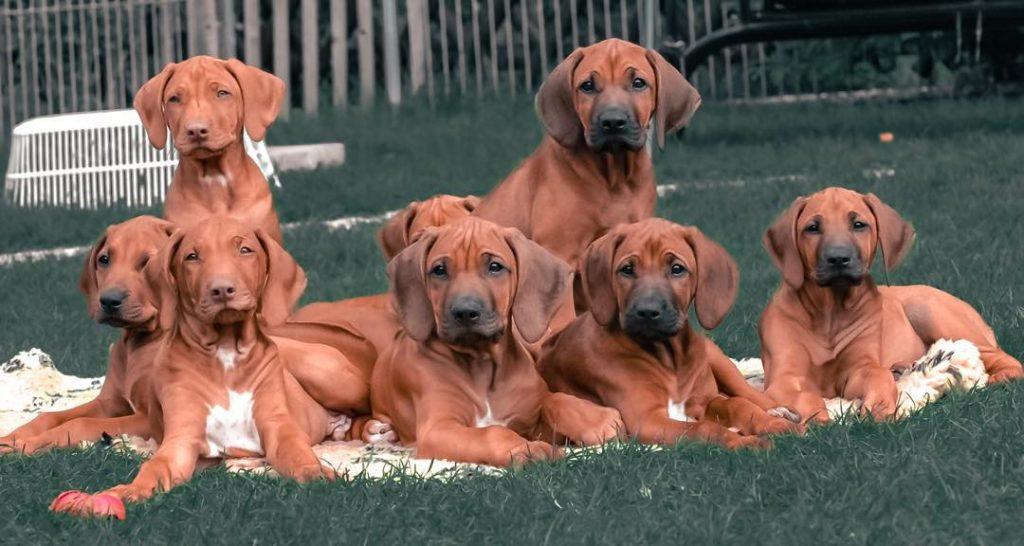 Rhodesian Ridgeback puppies cost