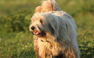 Romanian Mioritic Shepherd history and behavior